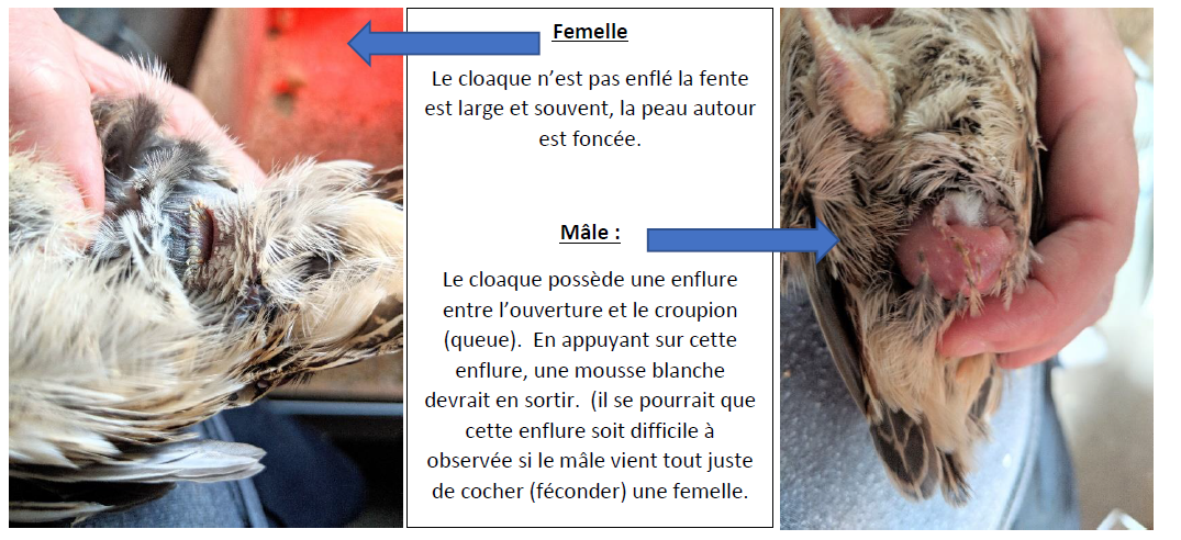 sexage au cloaque.PNG